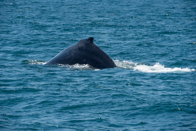 The hump for which Humpback Whales are named formed as it dives.