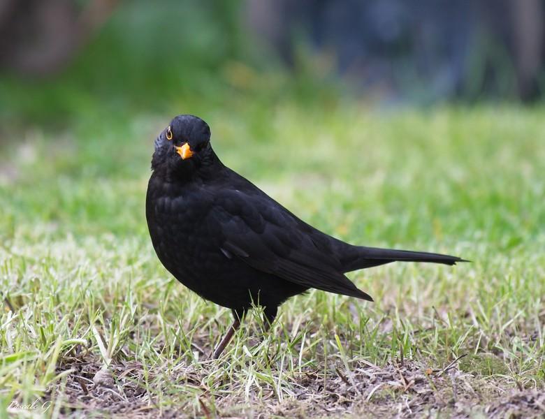 Blackbird in my garden ; Merle dans mon jardin