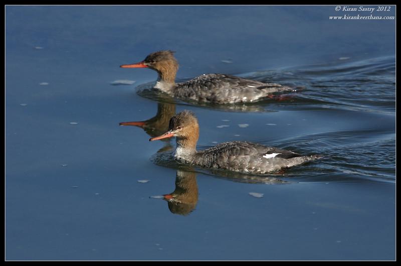 Female Red-breasted Mergansers, Robb Field, San Diego River, San Diego County, California, February 2012