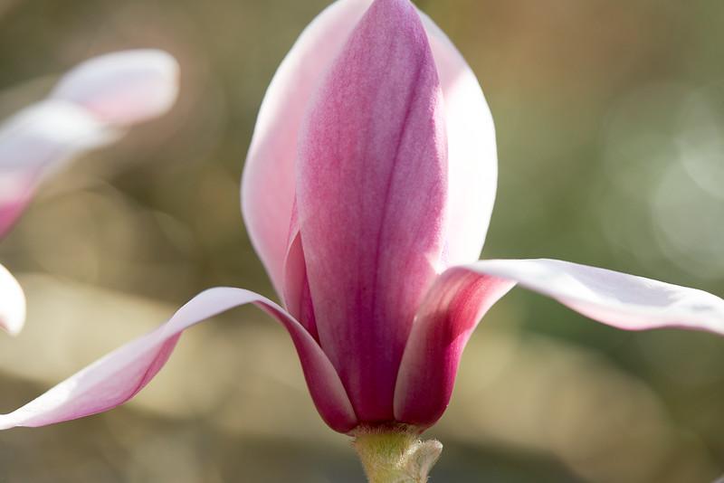 Magnolia_M4A4992.jpg