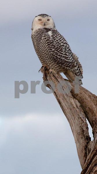 Snowy owl 4598c.jpg