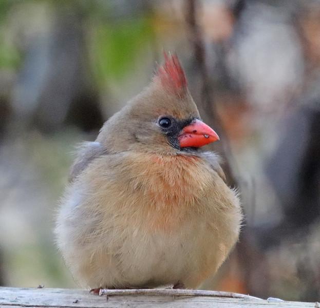 Cardinal 48