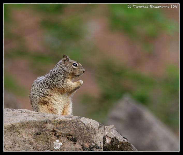 Ground Squirrel, Zion National Park, Utah, May 2010