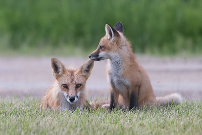 Fox and her cubs in HECLA