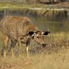 Female Sambar Deer (Cervus unicolor niger) in the forested valley of Ranthambore national park