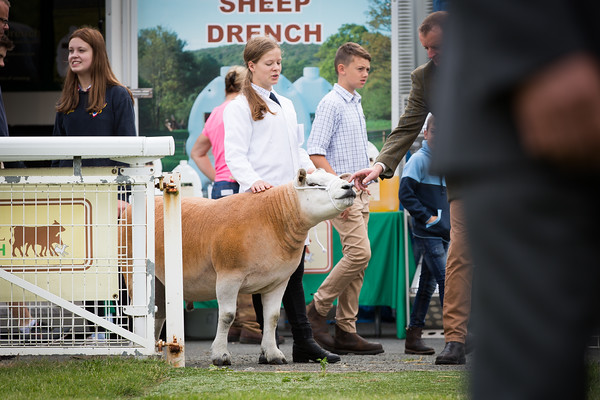 Royal welsh show 2019 Texels
