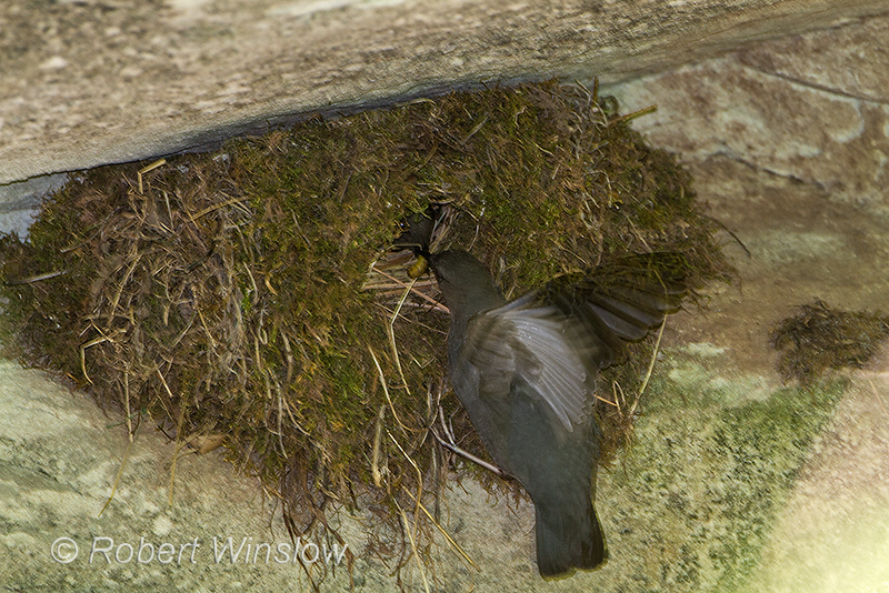 American Dipper Nest, Cinclus mexicanus, Junction Creek, La Plata County, Durango, Colorado, USA, North America, Order Passeriformes, Family Cinclidae