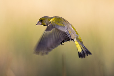 Grønnfink (European Greenfinch)