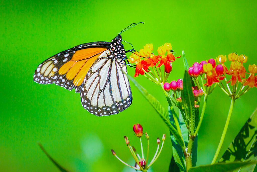 彩蝶,自由飞翔
