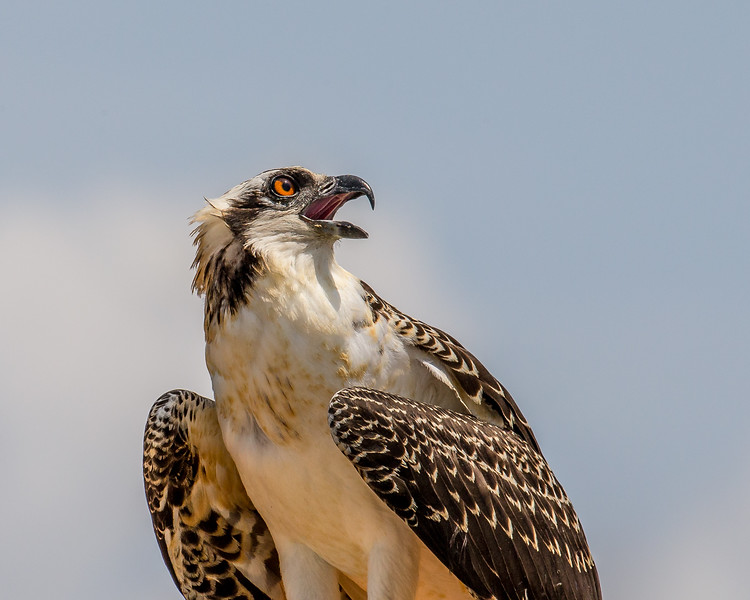 A young osprey
