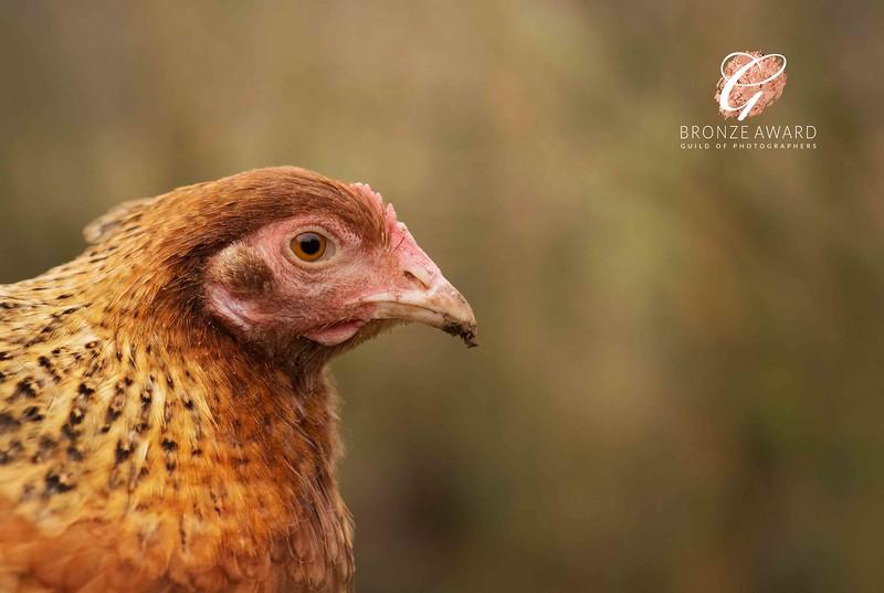 Churp the chicken Bronze.jpg