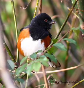 Roufous Sided Towhee in north Alabama