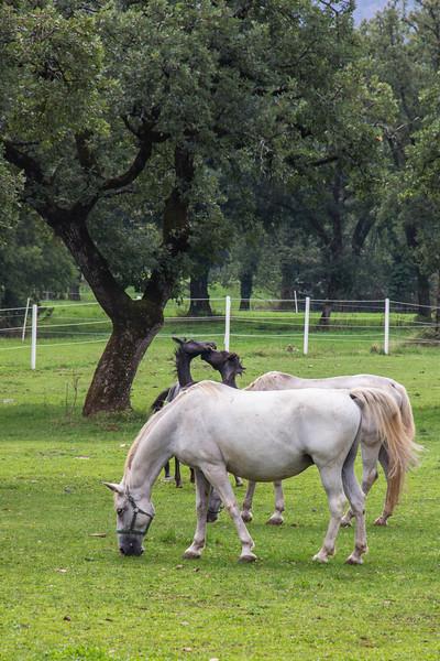 2013-09-Lipizzaner Horses