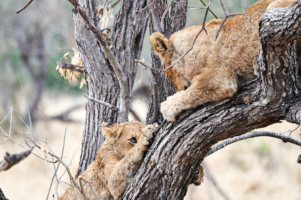Lion Older Cubs With Tree MalaMala South Africa 2019