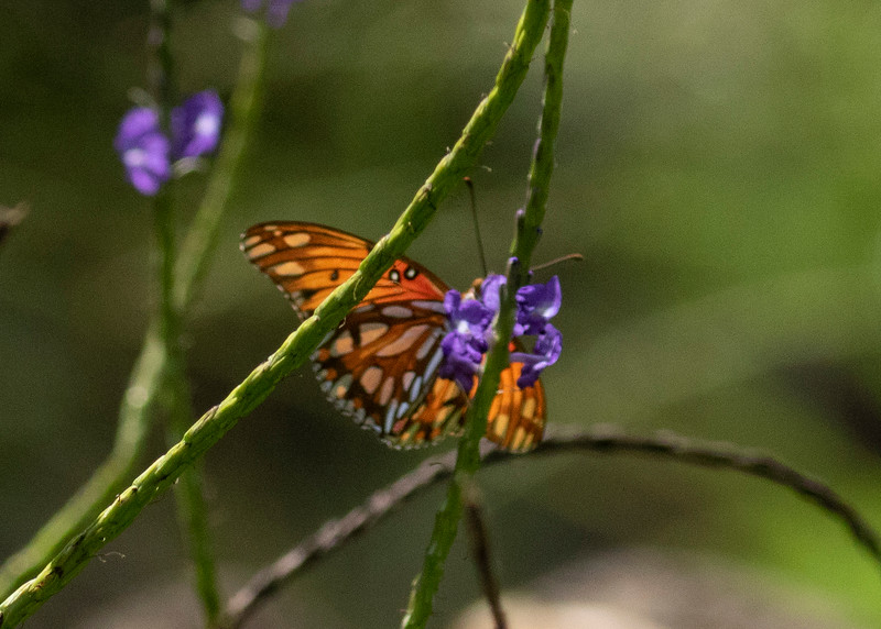 Hawaiian Fritillary feeding in Waimea Valley