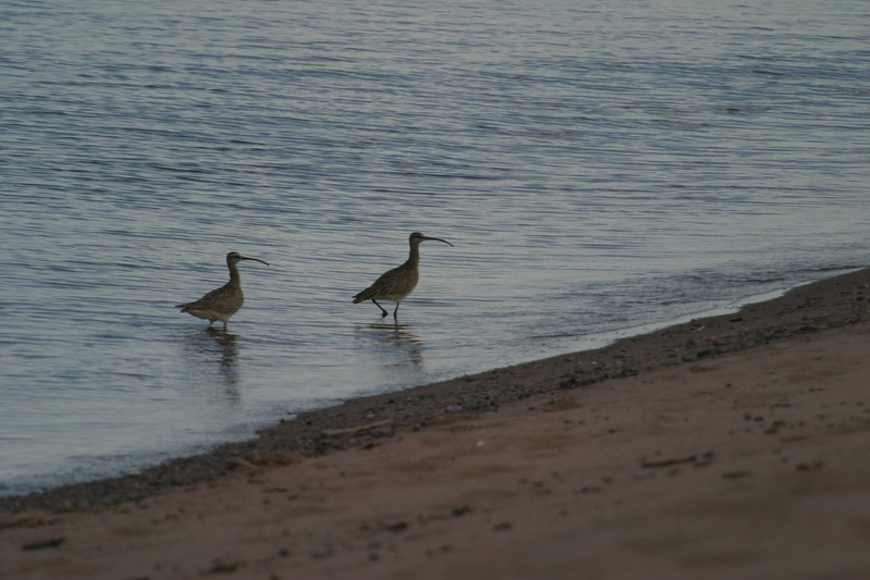 Whimbrel two Park Point Duluth MN 175_7578.jpg