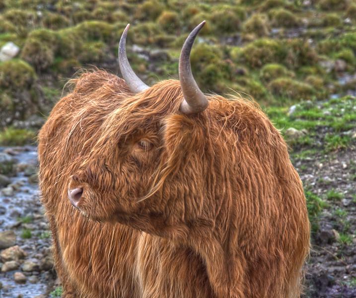 Hairy Coo 2.jpg