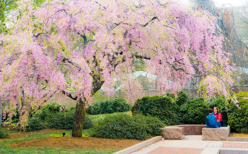"""The Weeping Cherry""