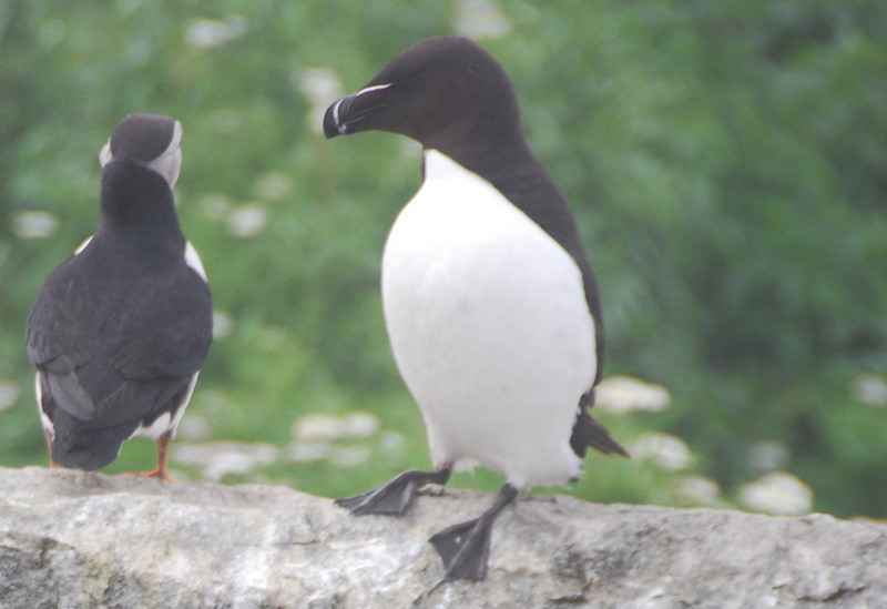 Machias Seal Island Trip - 093