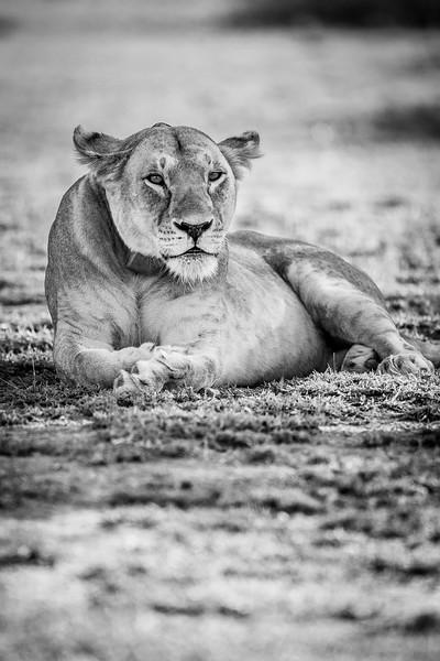 Kope Lion