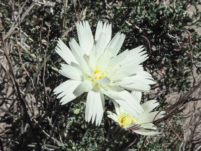 White Tackstem (Calycoseris wrightii)
