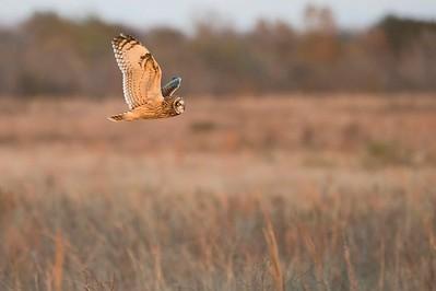 Attwater Prairie Chicken NWR:  Short-eared Owl