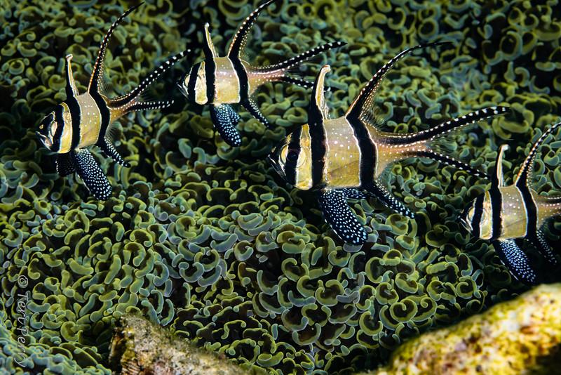 FISH - Banggai cardinalfish-1099-Edit.jpg