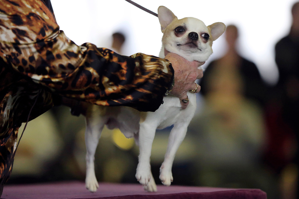 Description of . A handler places a smooth coat Chihuahua on the table for inspection during competition at the 137th Westminster Kennel Club dog show, Monday, Feb. 11, 2013 in New York.  (AP Photo/Mary Altaffer)