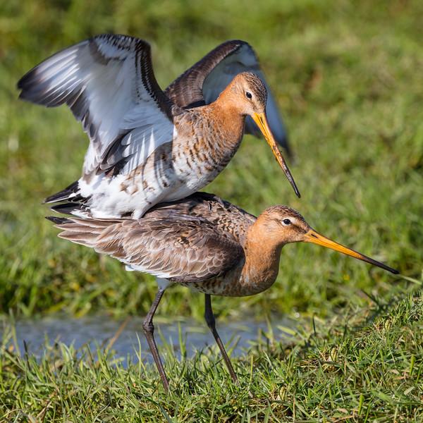 Fugle-KobbersneppeStor-LimosaLimosa-2018-05-06-_L8A0079-Danapix.jpg