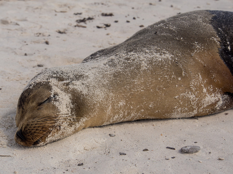 sea lion head sleeping.jpg