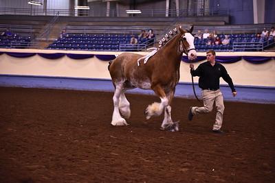 Clyde Gelding or Stallion