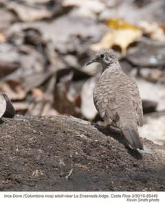 Inca Dove A85449.jpg