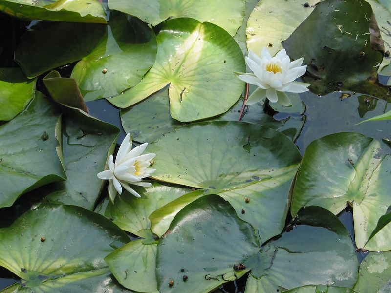 Water Lilies, Centenial Park, Columbia Maryland - June 2003