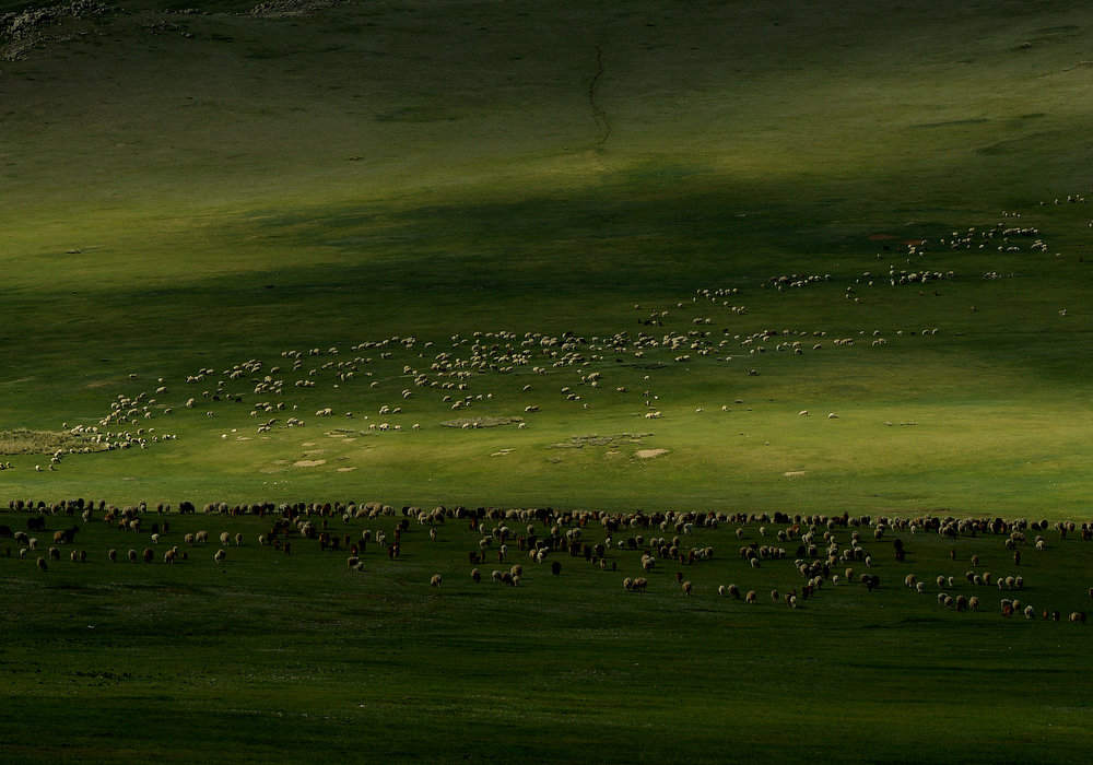 . Mongolian sheep and cattle graze at grasslands on World Environment Day at the Hustai National Park in Mongolia on June 5, 2013.  The World Environment Day celebration began in 1972 by the United Nations and is used to raise worldwide awareness of the environment and encourage political attention and action.      MARK RALSTON/AFP/Getty Images