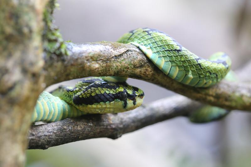 Sri Lankan Green Pit Viper (Trimeresurus trigonocephalus)