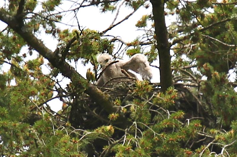 May 19, 2012 Hawk babies   4445.png