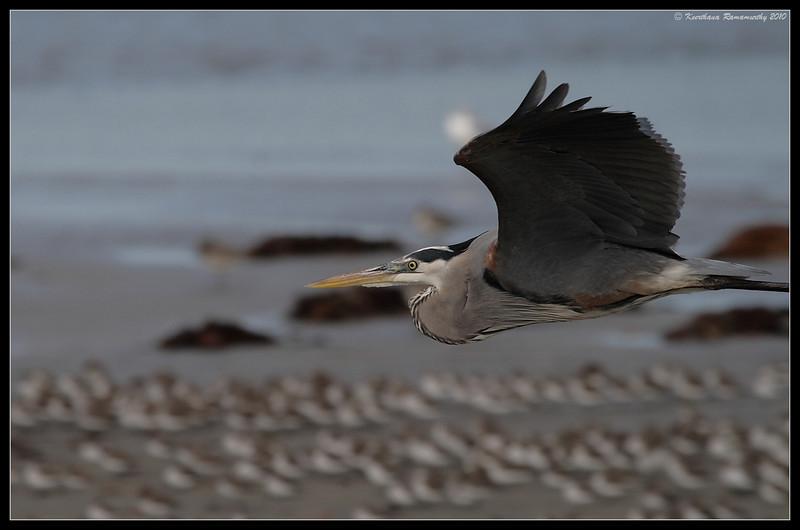 Great Blue Heron, Robb Field, San Diego River, San Diego County, California, January 2010