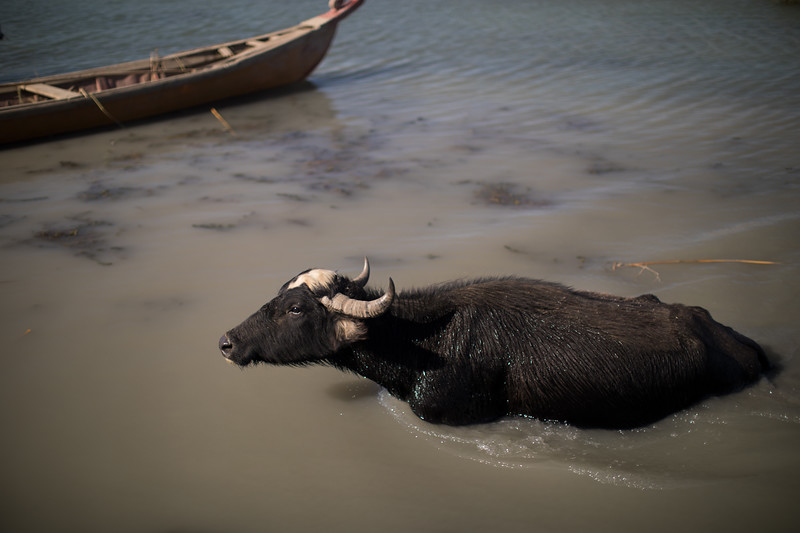 A wading water buffalo in the Mesopotamian Marshes, Southern Iraq.