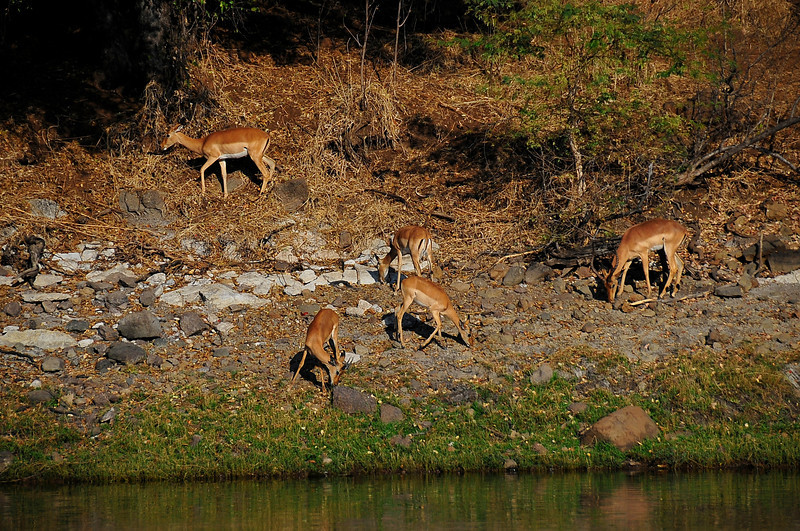 EPV0166 Impala at Chobe River.jpg