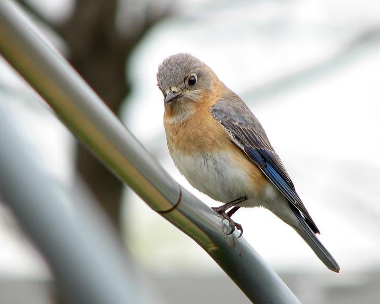 bluebird_4400.jpg