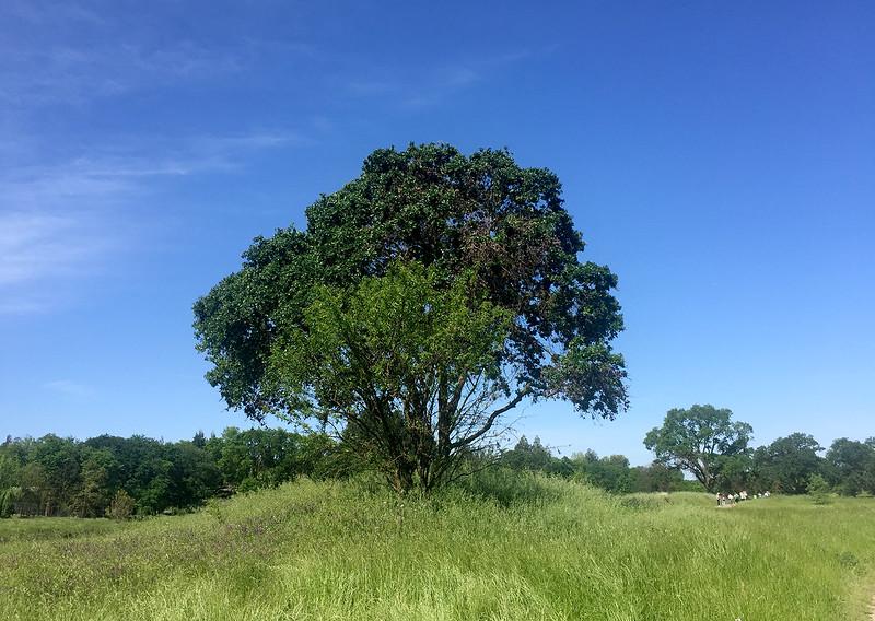 laguna tree.jpg