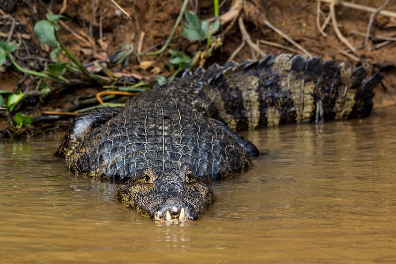 Caiman of the Pantanal, Brazil-38.jpg
