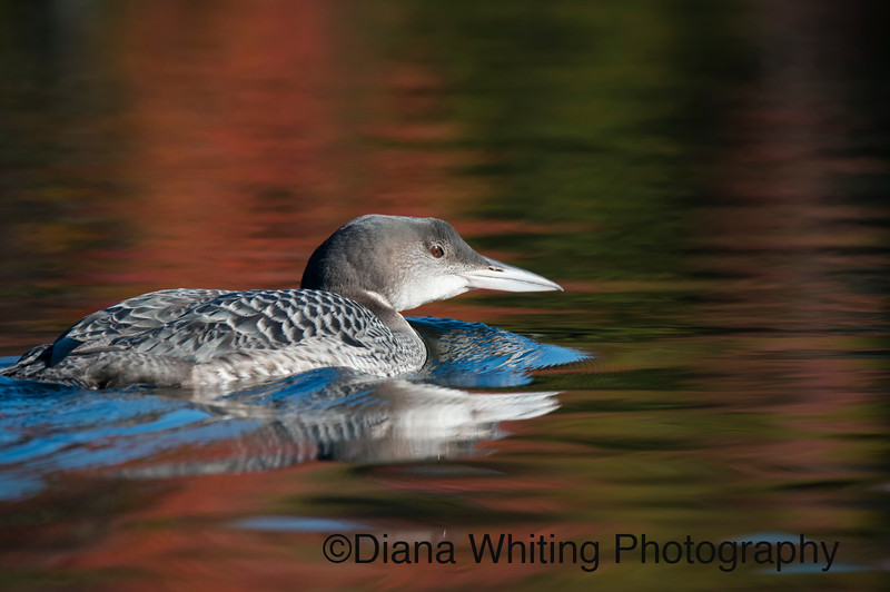 Loon Juvenile in Fall Reflections.jpg