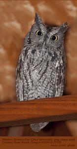 Western Screech-owl A77178.jpg