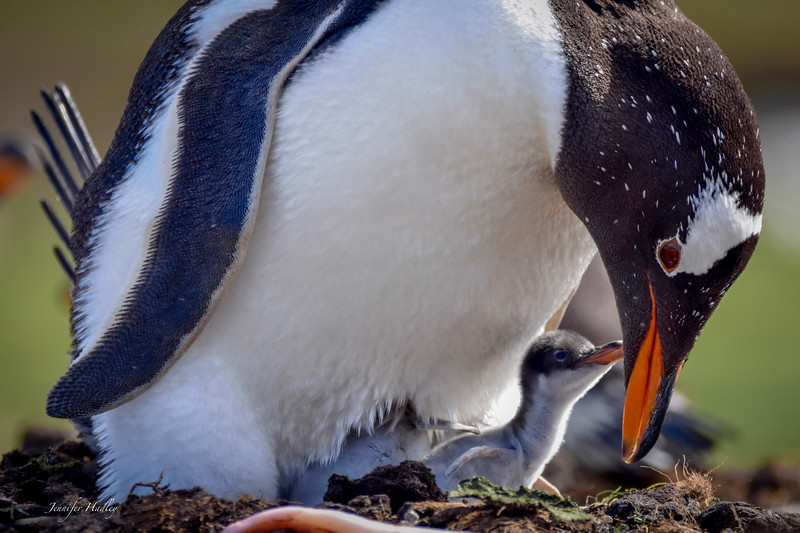 mom and baby chick penguins_.jpg