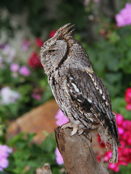 Scretch Owl_2687.jpg