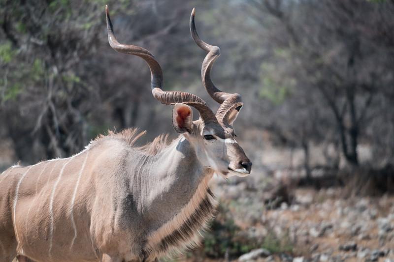 Kudu in Wild