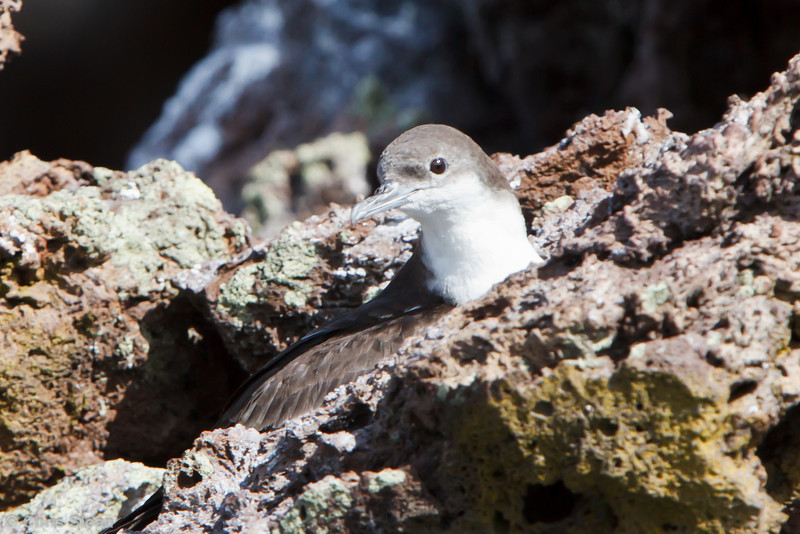 Galapagos Shearwater at Devil's Crown, Floreana, Galapagos, Ecuador (11-22-2011) - 175.jpg