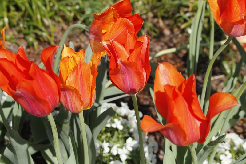 el nino tulips