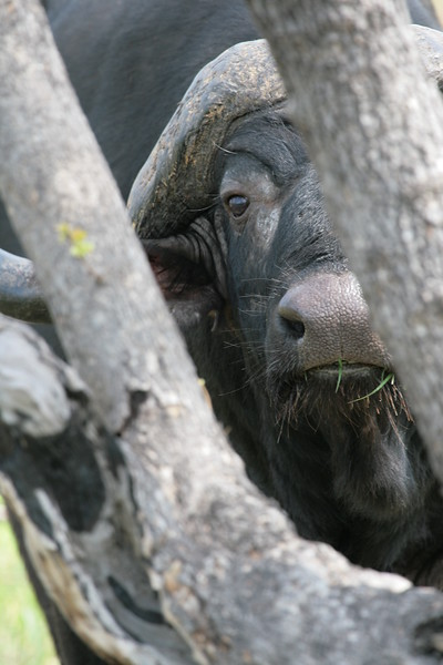 Buffalo South Africa 2004 2007